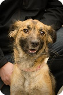 Shepherd (Unknown Type)/Sheltie, Shetland Sheepdog Mix Dog for adoption in Saskatoon, Saskatchewan - Samantha