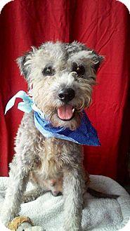 Schnauzer (Miniature)/Poodle (Miniature) Mix Dog for adoption in Corona, California - CHARLY