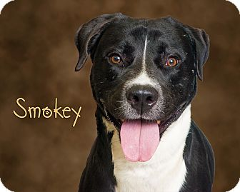 Labrador Retriever/Pit Bull Terrier Mix Dog for adoption in Somerset, Pennsylvania - Smokey