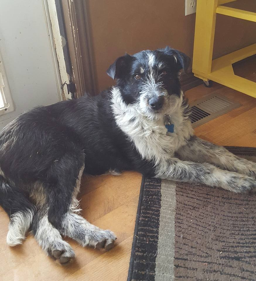 Ogden, UT - Wirehaired Pointing Griffon. Meet Gertie a Dog for Adoption.