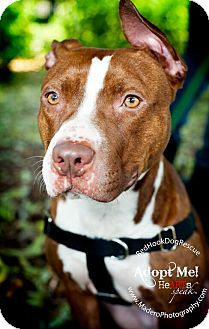 Pit Bull Terrier Mix Dog for adoption in Brooklyn, New York - Olive gentle and sweet