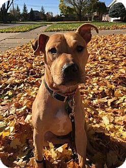 American Staffordshire Terrier/Boxer Mix Dog for adoption in Rochester Hills, Michigan - Roo
