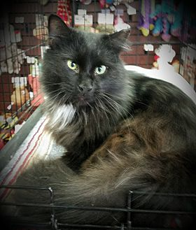 Adopt A Persian Cat Philadelphia