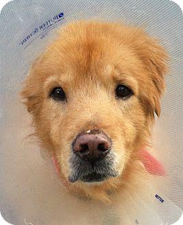 Golden Retriever Dog for adoption in Jacksonville, Florida - Midas