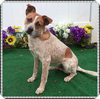 Australian Cattle Dog Mix Dog for adoption in Marietta, Georgia - BILLINGS (R)