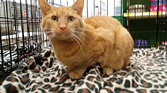 Domestic Shorthair Cat for adoption in Columbus, Ohio - Oscar