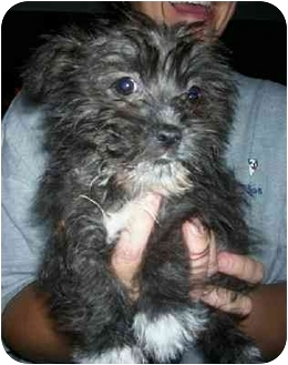 Wauseon Oh Shih Tzu Meet Ziggy A Pet For Adoption