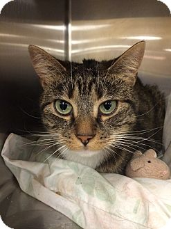 Domestic Shorthair Cat for adoption in Pittstown, New Jersey - Socks