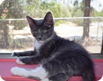Domestic Shorthair Kitten for adoption in Lake Elsinore, California - Storm