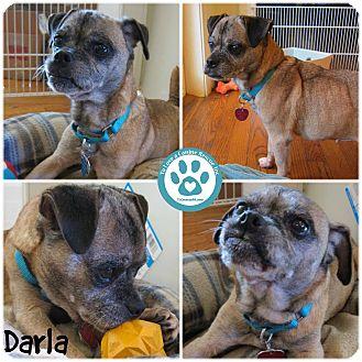Pug Mix Puppy for adoption in Kimberton, Pennsylvania - Darla