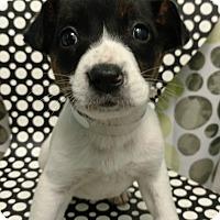 Adopt A Pet :: DEE DEE - Tampa, FL