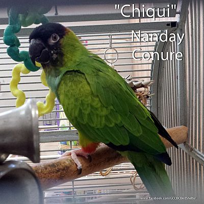 Villa Park, IL - Conure  Meet Chiqui a Pet for Adoption