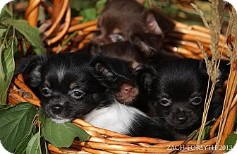 Portland Or Chihuahua Meet Chihuahuapapillon Puppies A Pet For