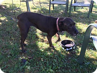 Labrador Retriever Mix Dog for adoption in Ledyard, Connecticut - Cocoa