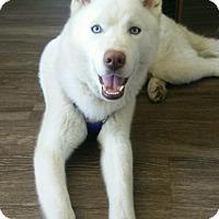 Adopt A Pet :: Blue - Long Beach, CA