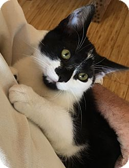 Domestic Shorthair Cat for adoption in Buhl, Idaho - Quinta
