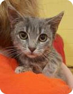 Domestic Mediumhair Kitten for adoption in Mount Pleasant, South Carolina - Aspen