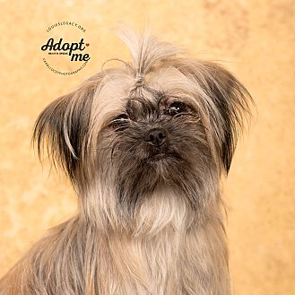 Duck Male Shih Tzu Ohio Louies Legacy Animal Rescue