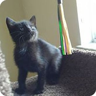 Domestic Shorthair Kitten for adoption in Hollywood, Florida - blake