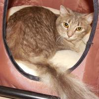 Domestic Shorthair/Domestic Shorthair Mix Cat for adoption in Jackson, Michigan - Arie
