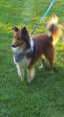 New Castle Pa Sheltie Shetland Sheepdog Meet Dusty Adopted A