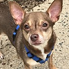 Adopt A Pet :: Fred - Chi  *Adopt or Foster*