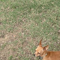 Adopt A Pet :: Jenny - Fort Worth, TX