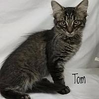 Adopt A Pet :: Tom - Kendallville, IN