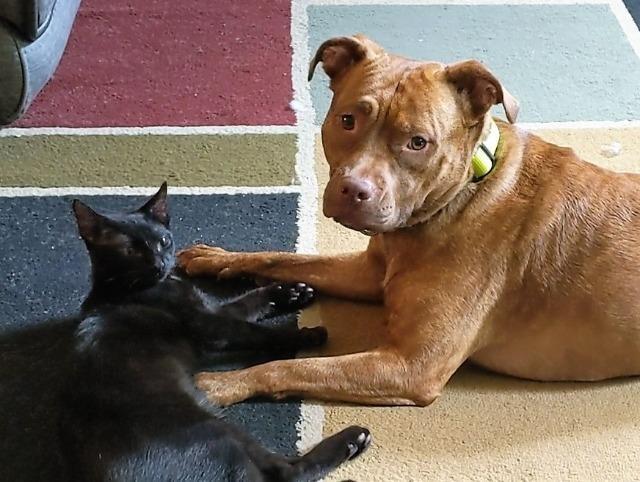 Adopt Jazmine a American Staffordshire Terrier / Hound ...