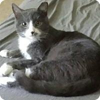 Adopt A Pet :: Gray - Columbia, MD