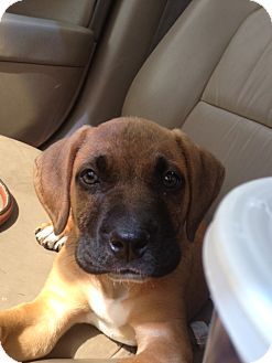 Bullmastiff Boxer Mix Puppies For Sale