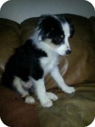 Las Vegas Nv Border Collie Meet Daphne A Pet For Adoption