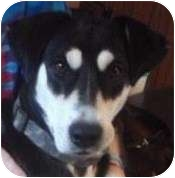 "Fox Terrier (Smooth)/Border Collie Mix Dog for adoption in Minerva, Ohio - Pritty""I'M ADOPTED"""
