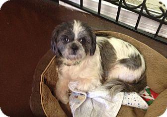 Kansas City Mo Shih Tzu Meet Aspen A Pet For Adoption