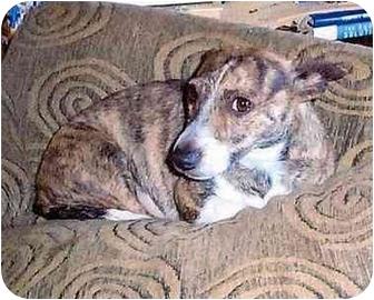 Somerset, KY - Jack Russell Terrier  Meet Ginger-ADOPTION