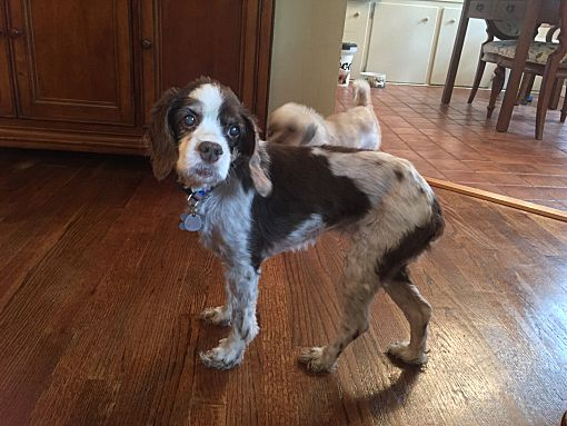 Mentor Oh Cocker Spaniel Meet Leila 8yr A Dog For Adoption