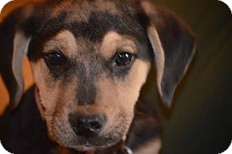 Shepherd (Unknown Type) Mix Dog for adoption in Woodlyn, Pennsylvania - Max