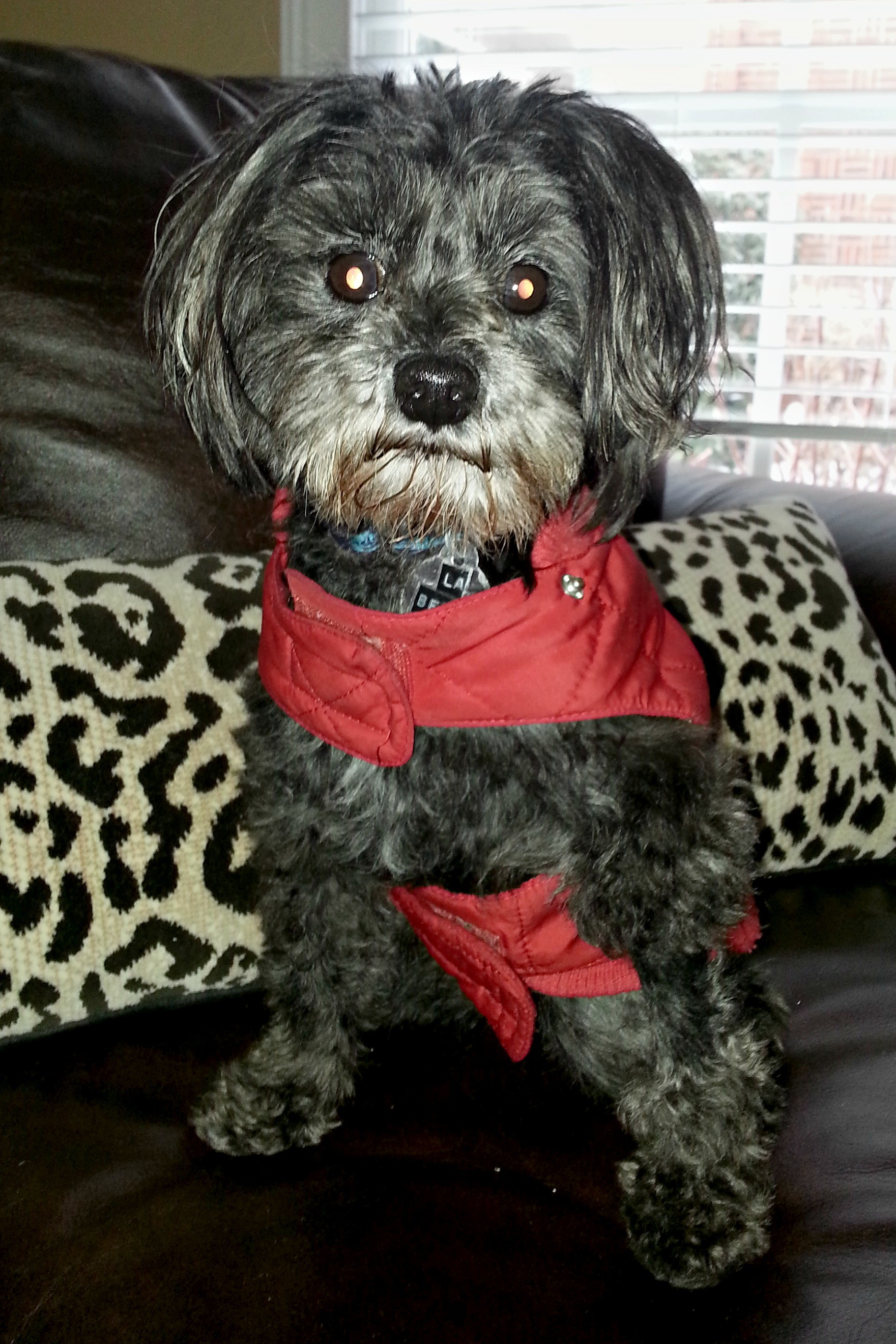 Knoxville Tn Toy Poodle Meet Labella A Pet For Adoption