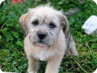 Los Angeles Ca Shih Tzu Meet Vixen A Pet For Adoption