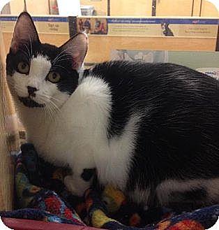 Domestic Shorthair Cat for adoption in Miami, Florida - Aria
