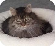 Domestic Mediumhair Cat for adoption in Anchorage, Alaska - Bunny Sue