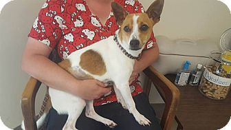 Jack Russell Terrier Mix Dog for adoption in Windsor, Virginia - Rex