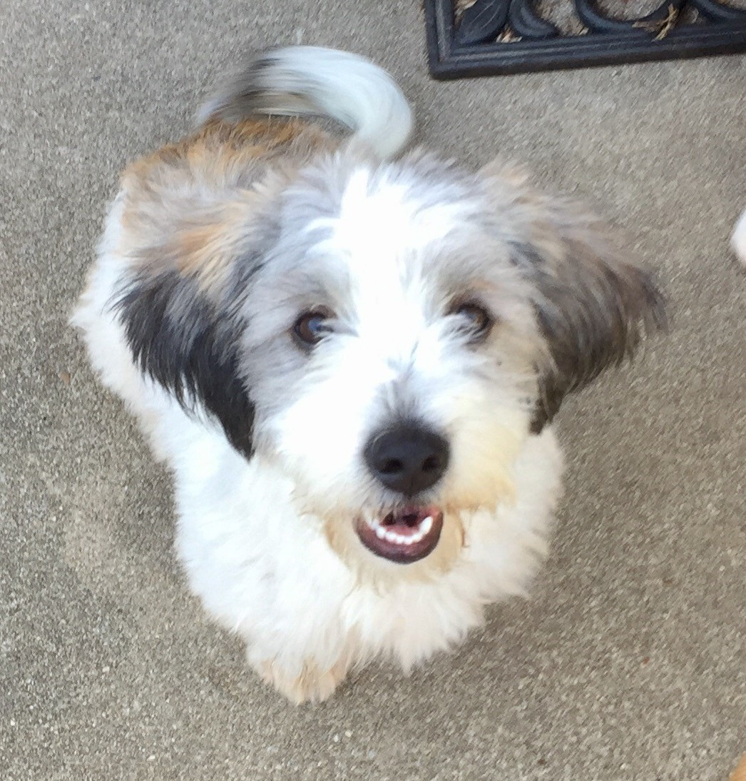 ST LOUIS, MO - Toy Poodle. Meet KRICKET a Dog for Adoption.