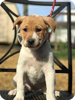 Australian Shepherd/Boxer Mix Puppy for adoption in Cincinnati, Ohio - Caterpillar