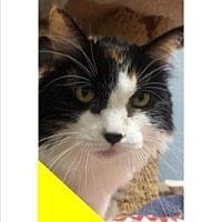 Domestic Mediumhair Cat for adoption in Roseville, California - Cinnabon