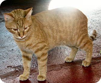 Domestic Shorthair Cat for adoption in Fairbury, Nebraska - Kahn
