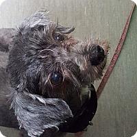 Adopt A Pet :: Coraline - Pierrefonds, QC
