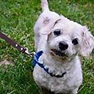 Adopt A Pet :: Chloe (Has Application)