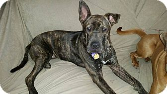 Shar Pei/Pit Bull Terrier Mix Puppy for adoption in Apple Valley, California - Kensie in TX