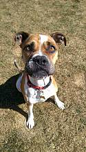 Adopt a Pet :: Zoey - ON MEDICAL HOLD - Troy, MI -  Boxer/American Bulldog Mix
